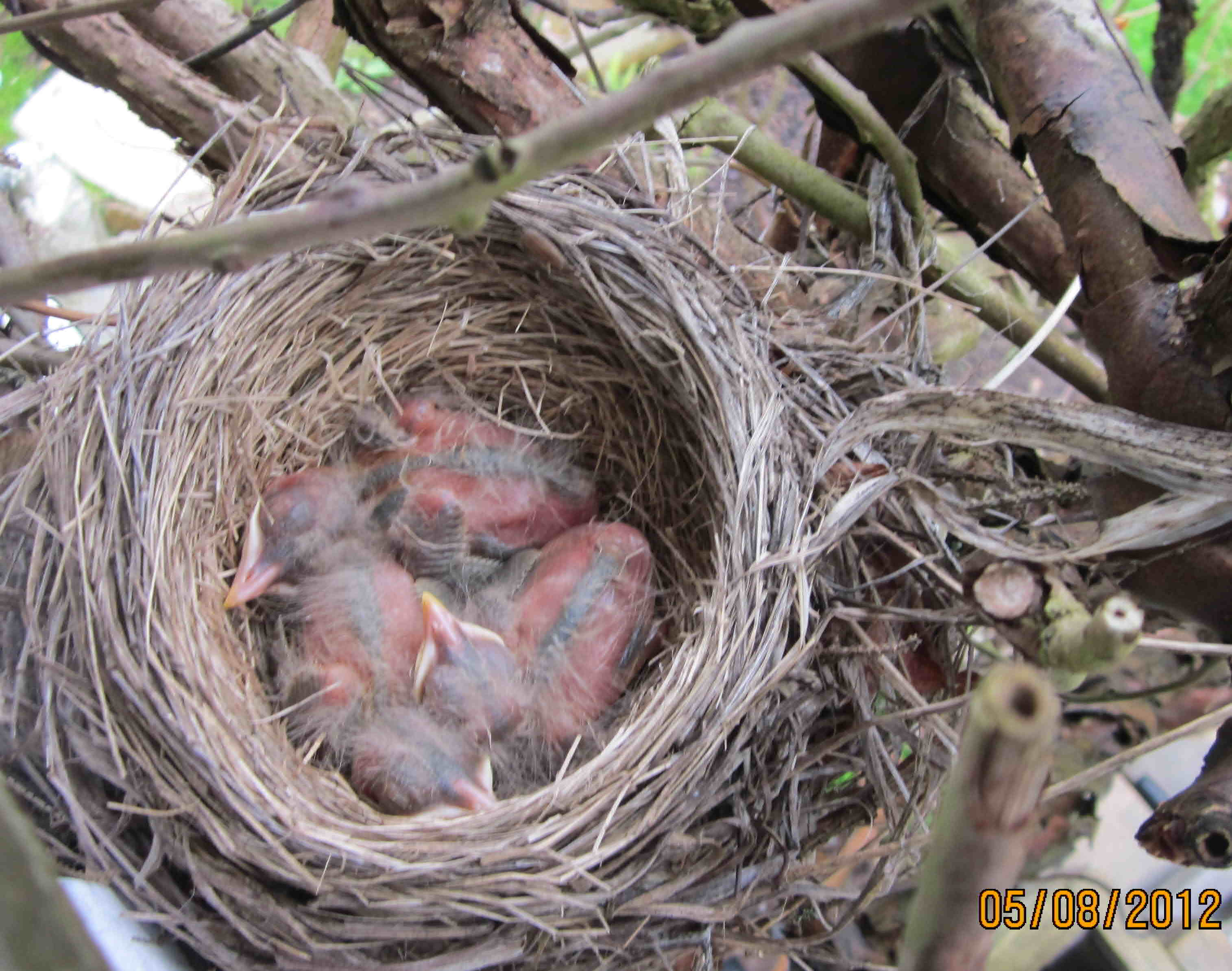 soft down appers on newly hatched robins