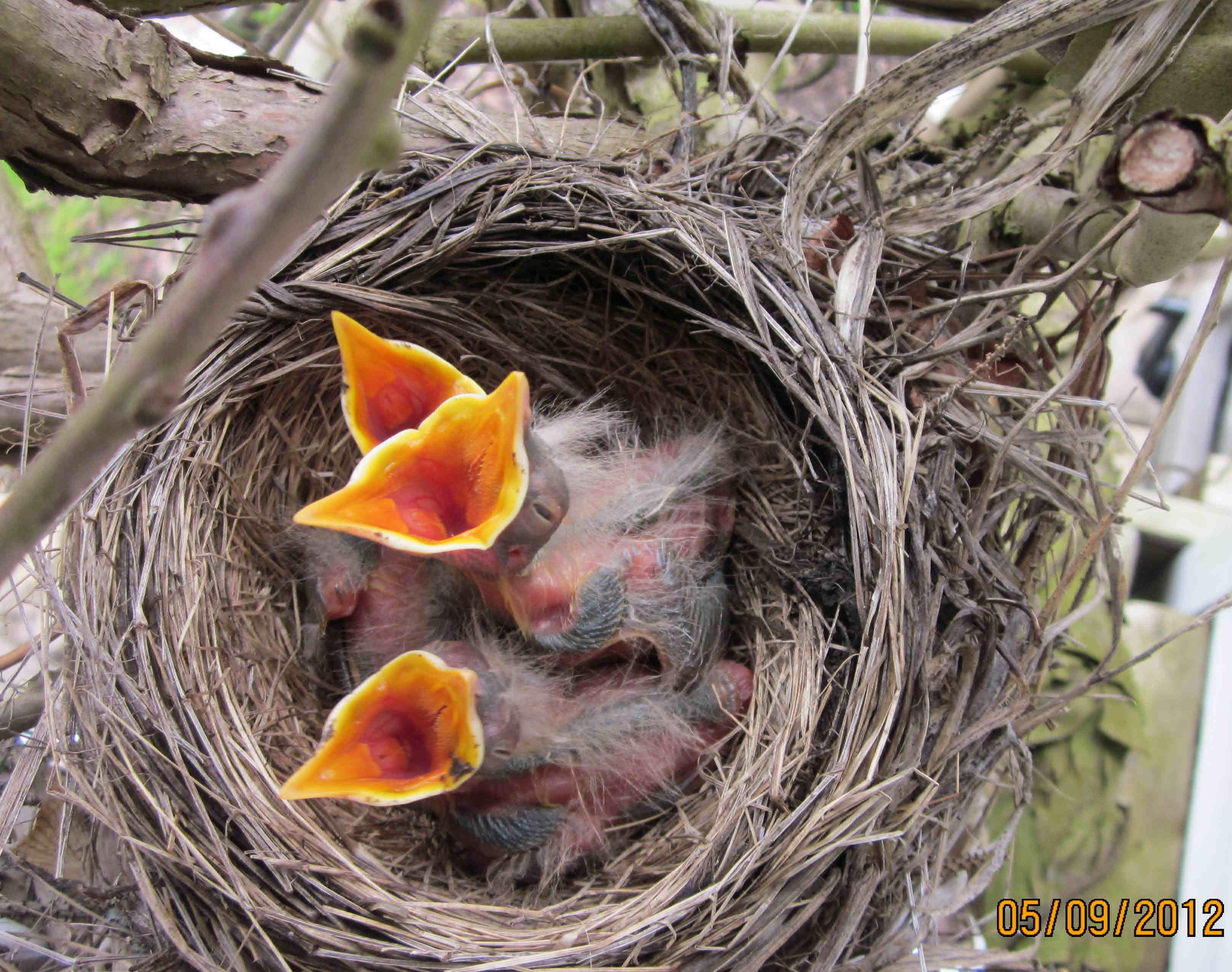 baby robin beaks open wide
