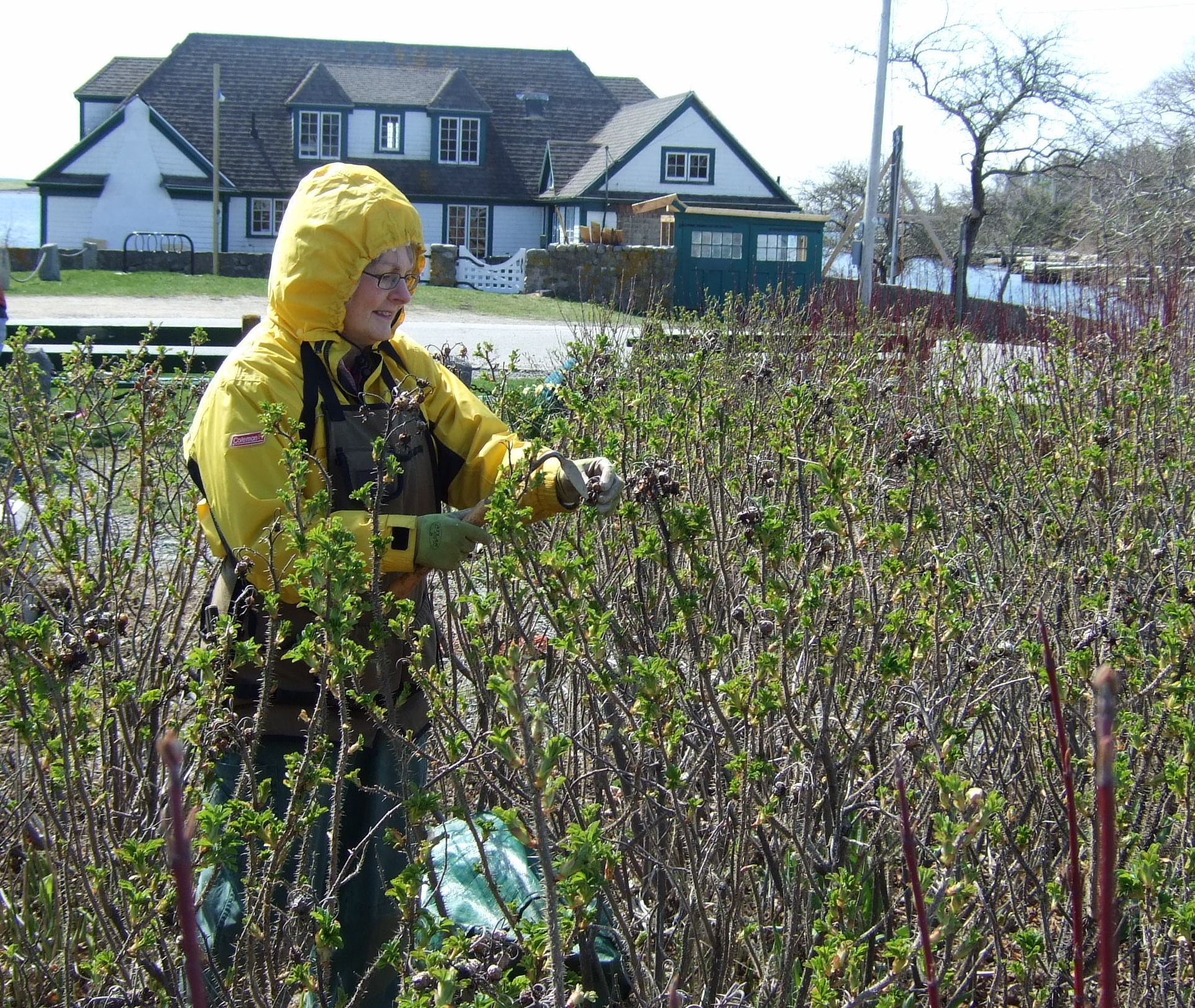 Cutting back old growth of rosa rugosas