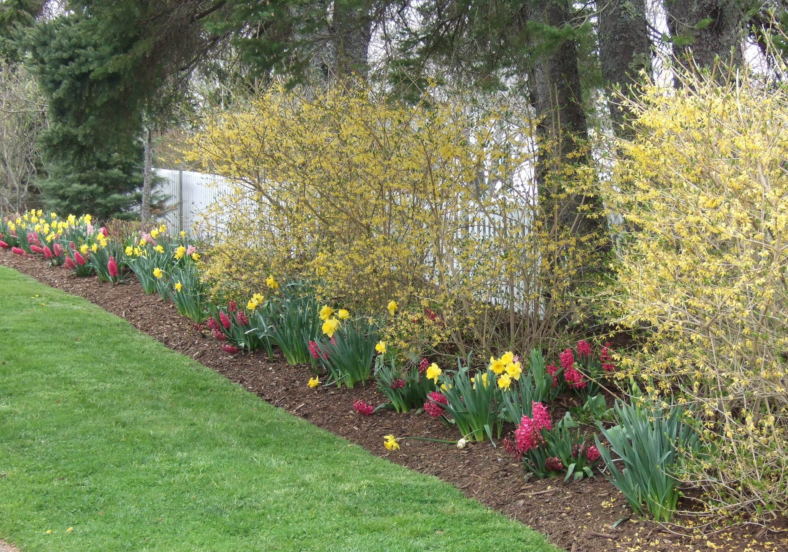 daffodils and hyacinths make a bright border