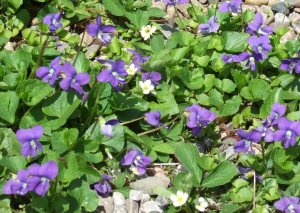 a carpet of violets