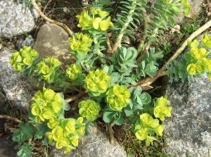 a sunny euphorbia nestled among rocks