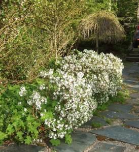 daphne bushes