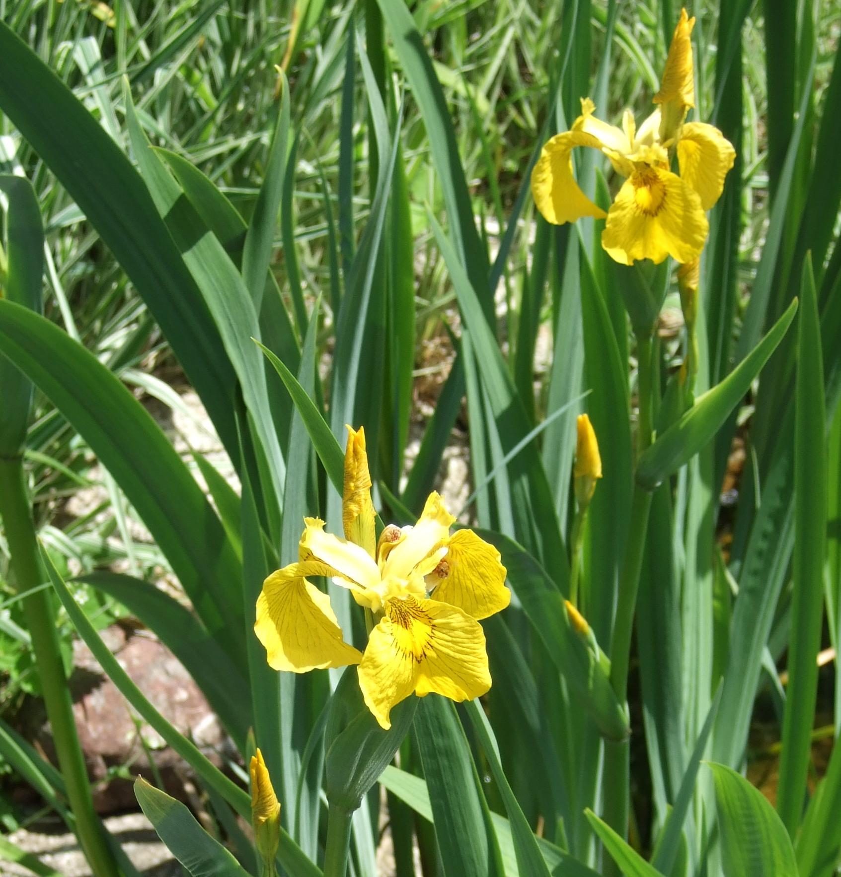 Iris pseudacorus (yellow)