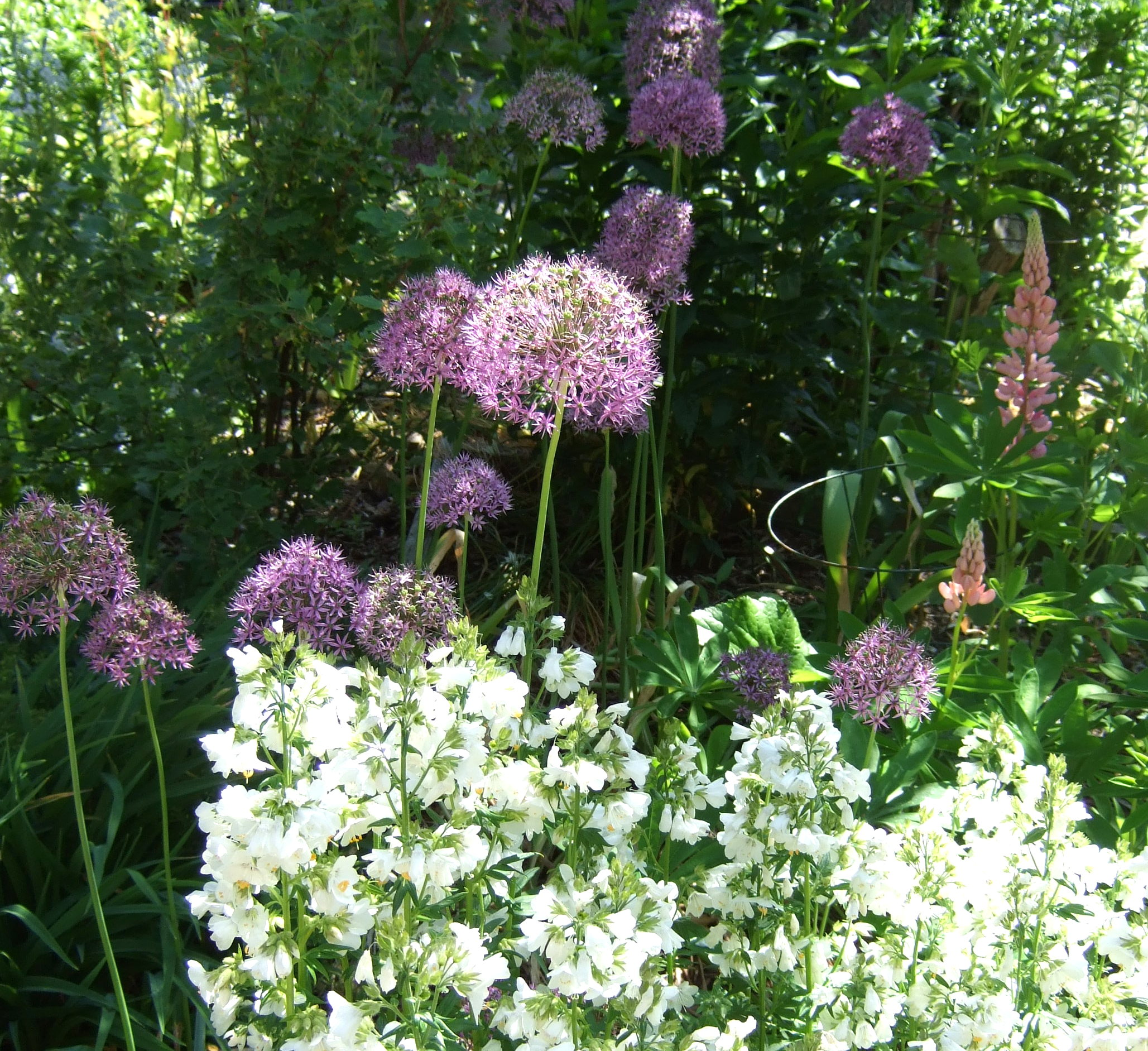 Alliums and Jacob's Ladder