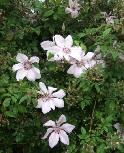 Clematis, Nelly Mosher