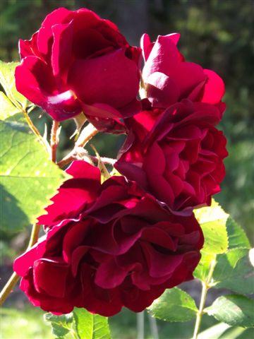 Rosa Navy lady