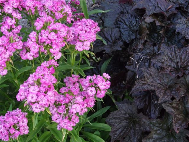 Sweet William and Heuchera Palace Purple