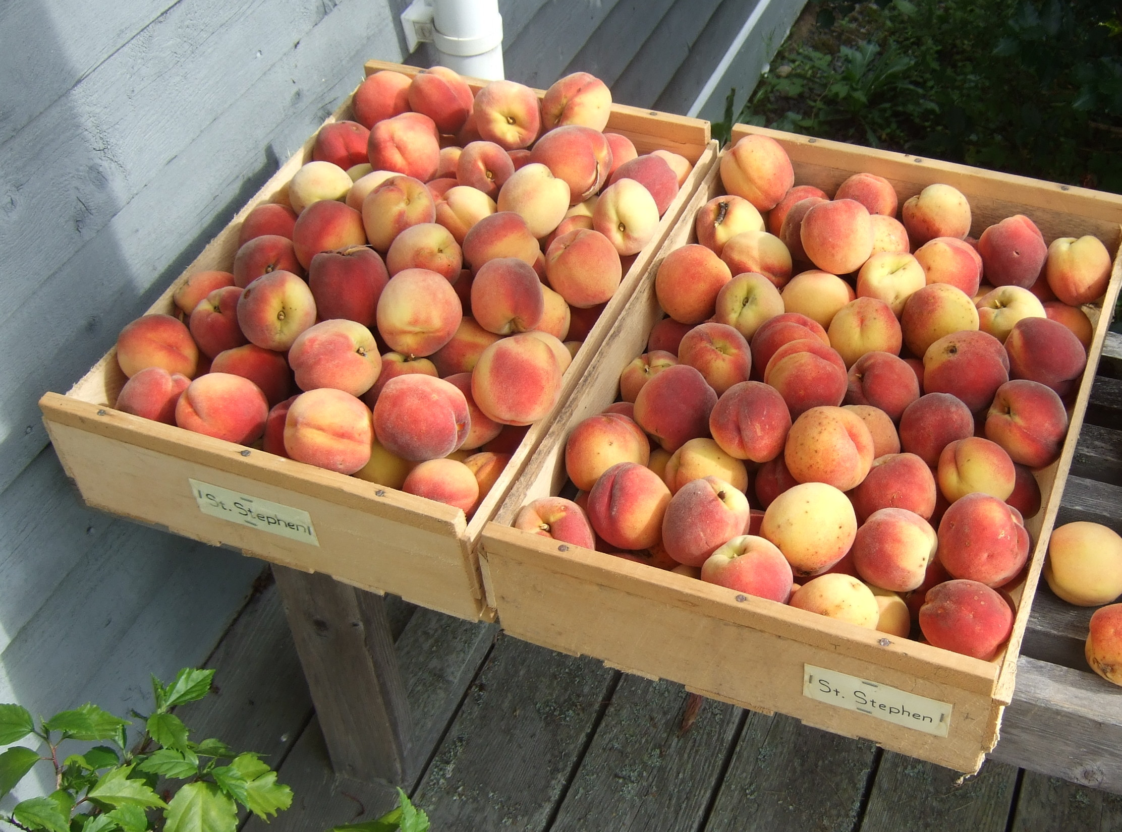newly harvested ripe peaches