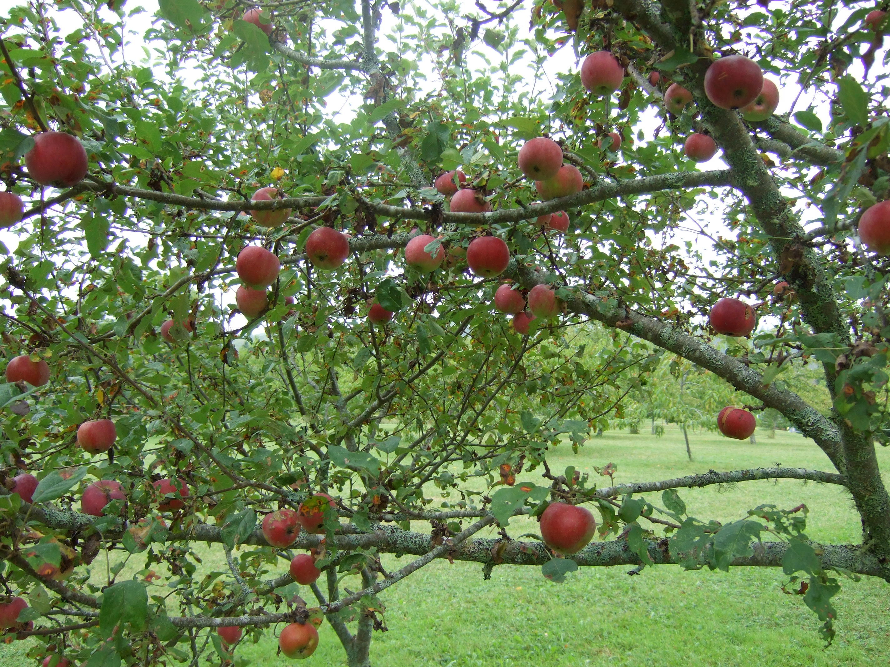 """July Red"" apples"