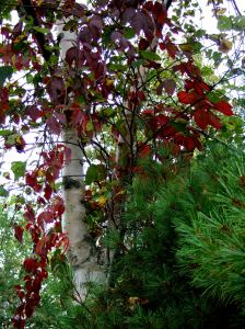 Virginia creeper on birch tree