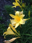 Daylilies doubling as delightful!