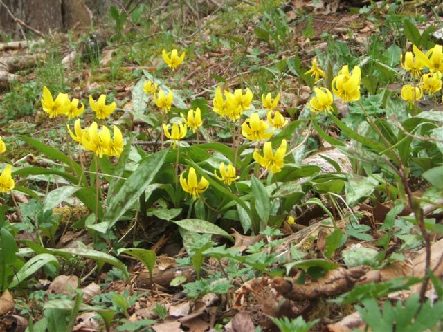 trout lily colony