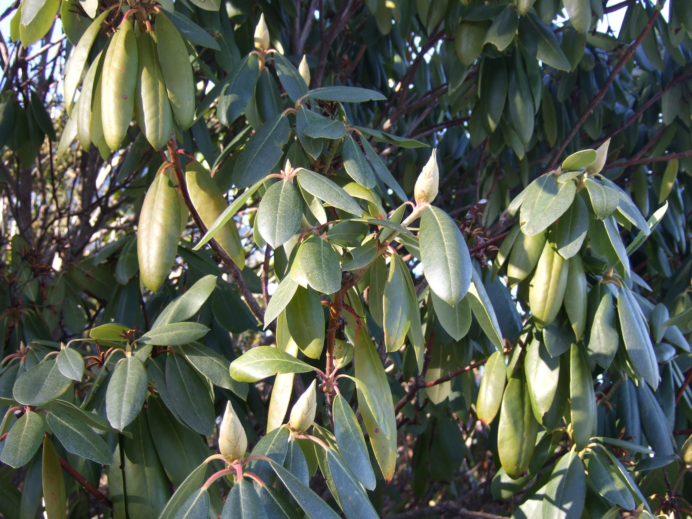 Rhododendron buds wait for Spring