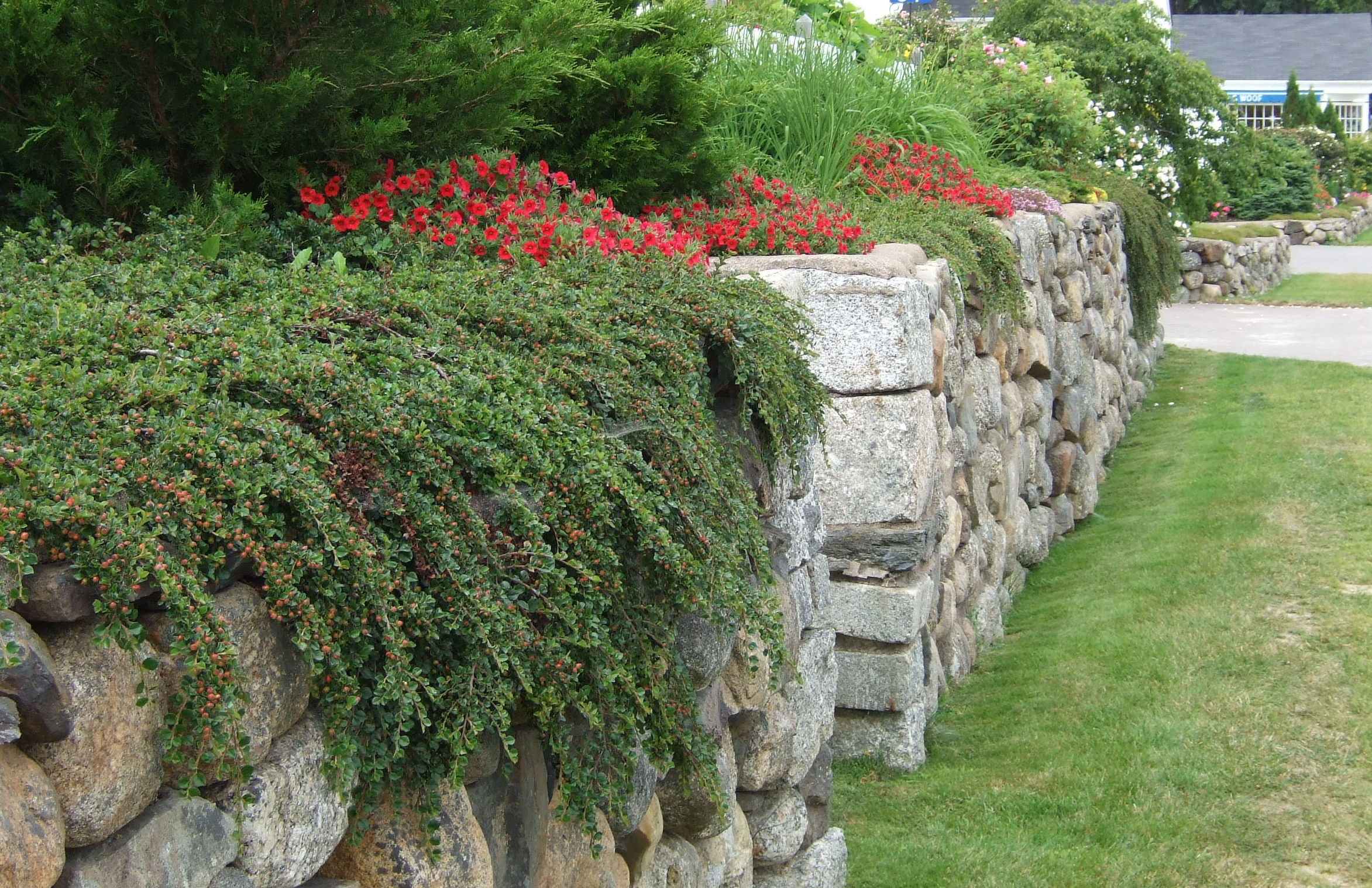 rock wall with cotoneaster
