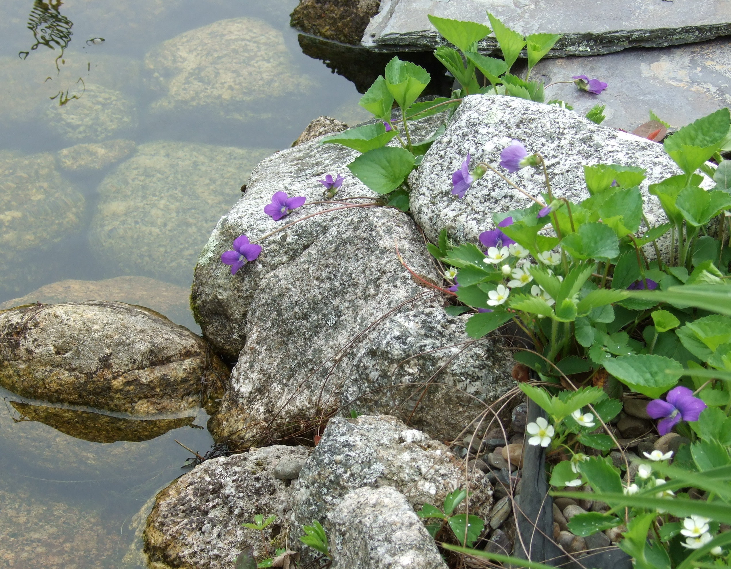 violets spilling over pond rocks