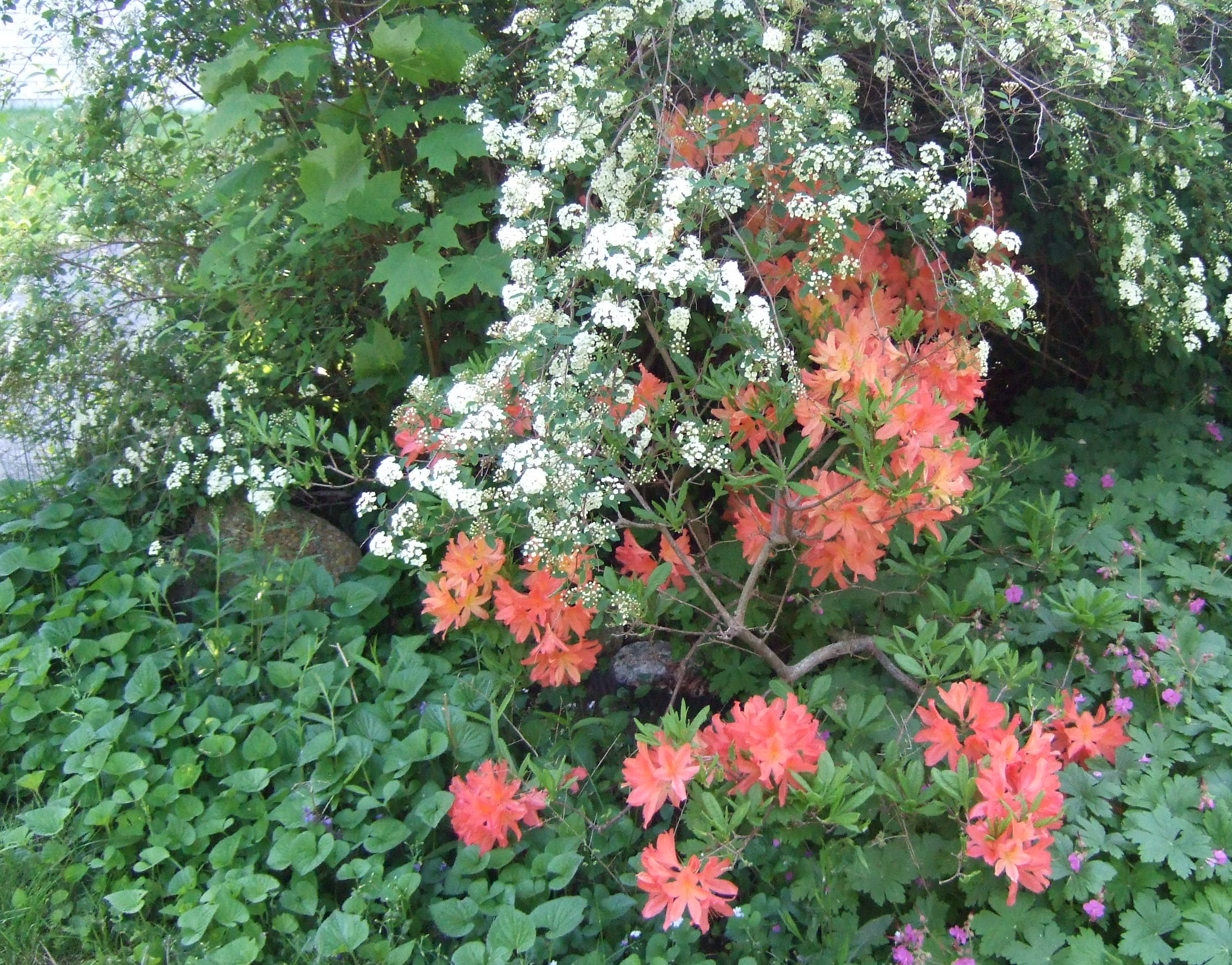 Azalea (flame) with Spirea (Bridal wreath) and hardy geraniums