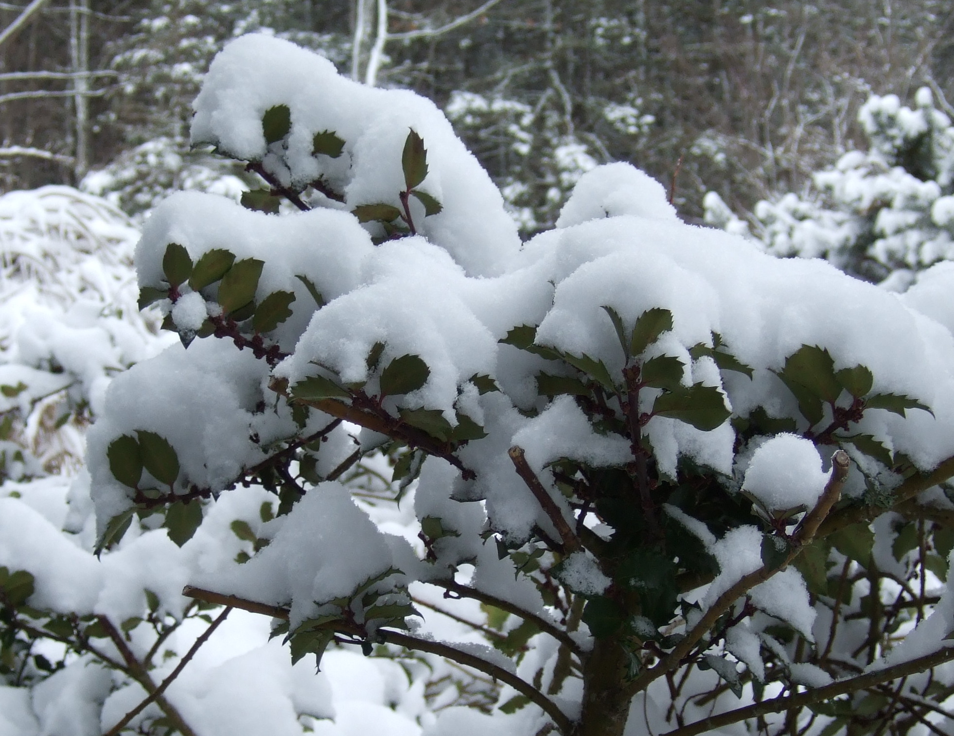 snow-topped holly bushes