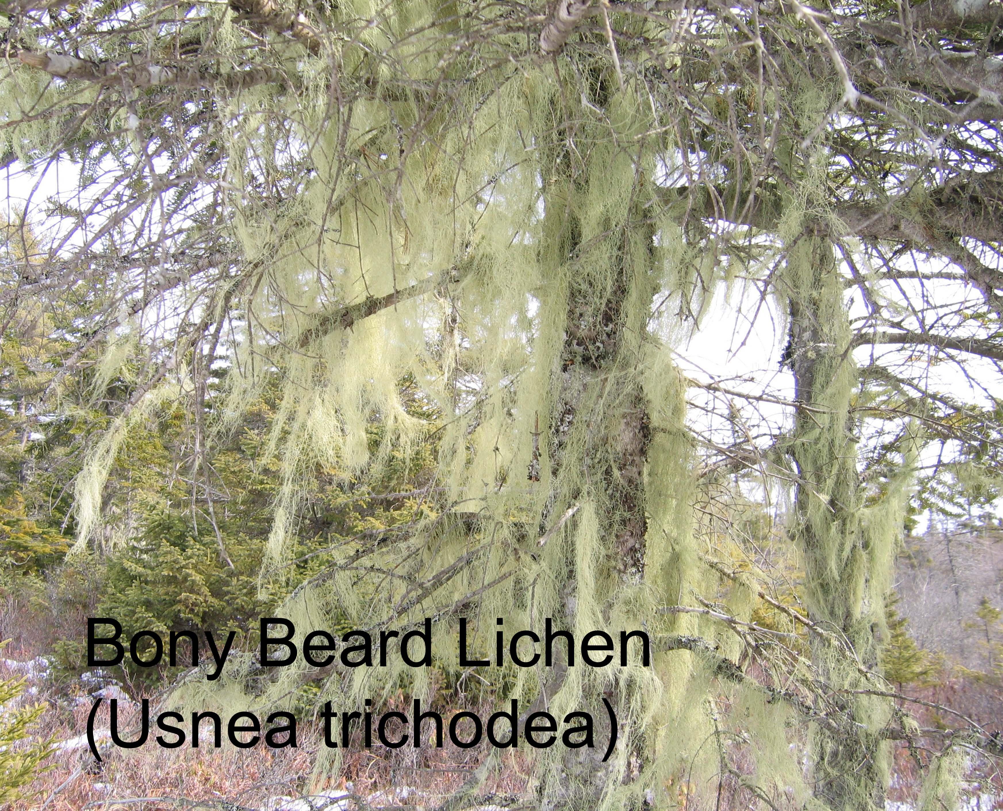 Lichen Usnea trichodea