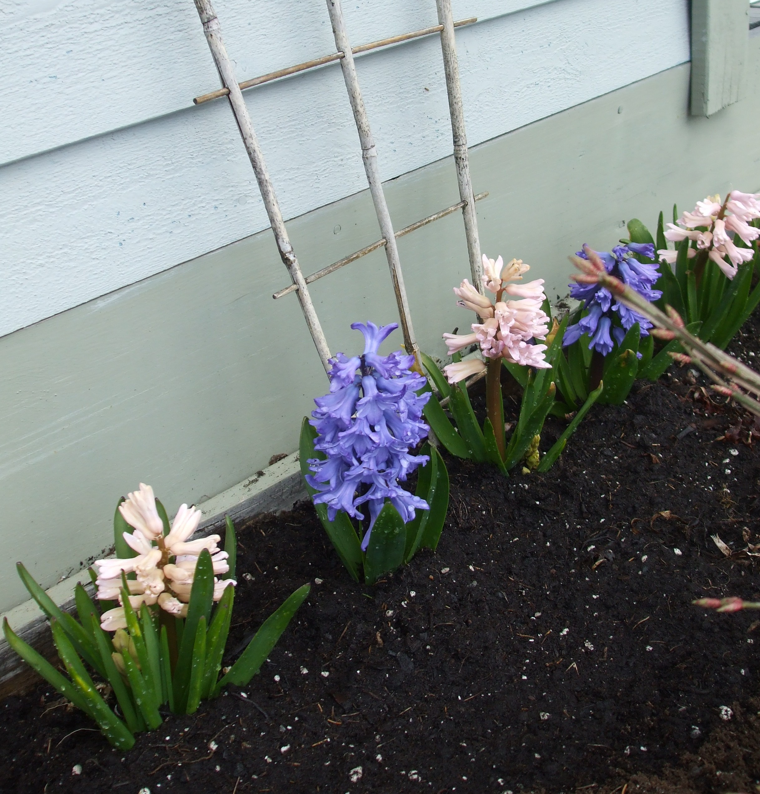 Jocelyn's hyacinths