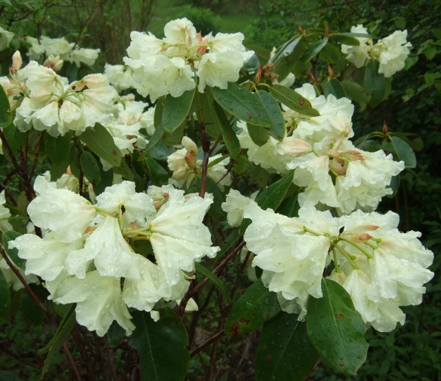 This Rhododendron with its creamy blossoms is an unidentified specimen from the late Captain Steele's collection.  eye