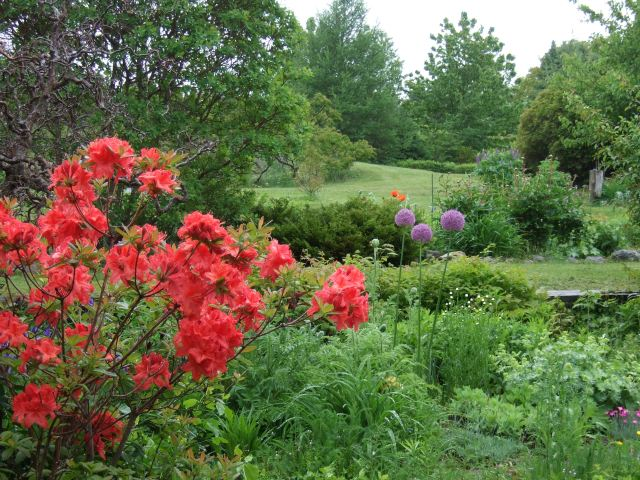 A spring garden vista includes an azalea, alliums and even perennial poppies in the distance.