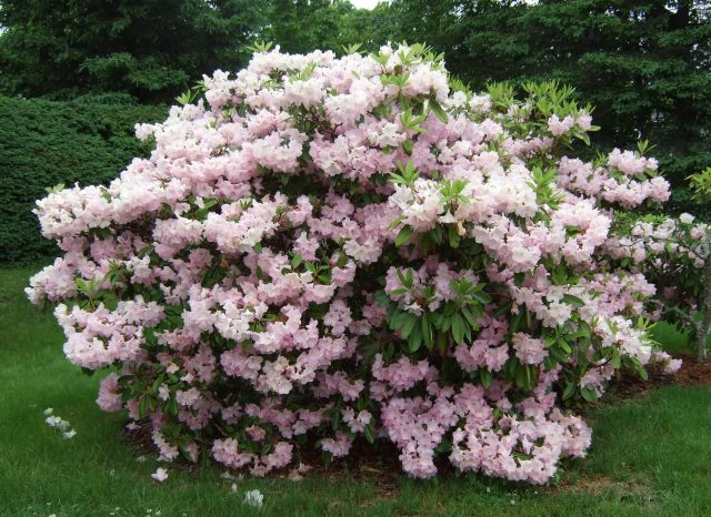 A mass planting of three unidentified  rhododendrons