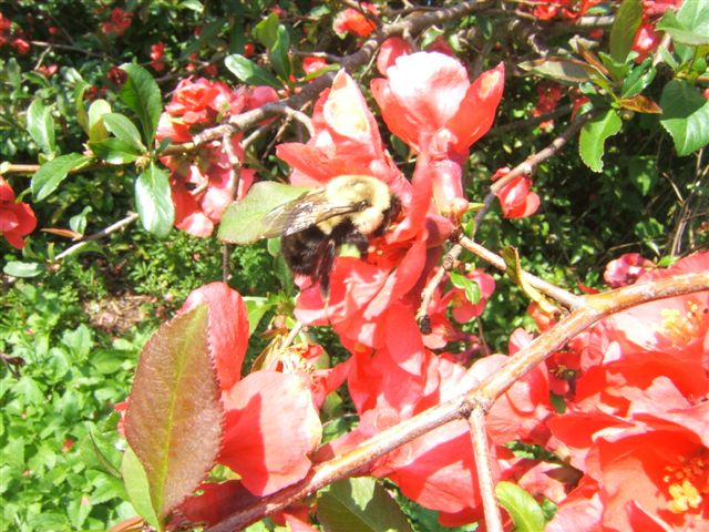A busy bee at work in Brenda's garden