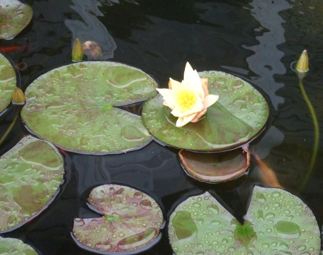 Water lilies add a touch of colour to the dark  surface of a pond.
