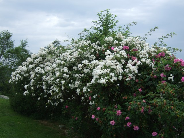 A rambling rose swarms over a fence it shares with a rosa rugosa.