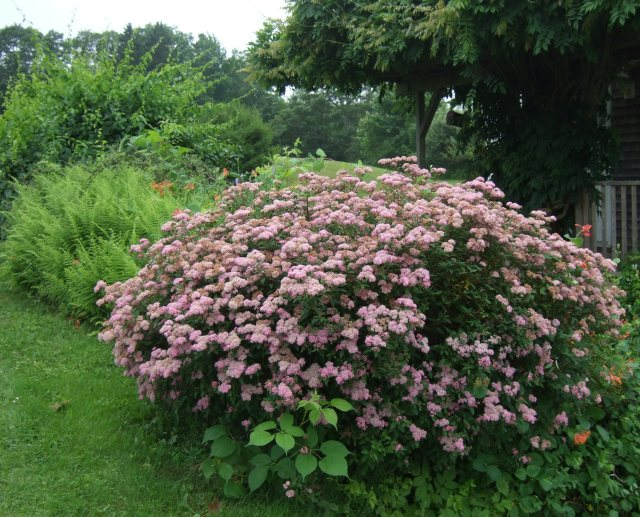Pink Spirea in full bloom