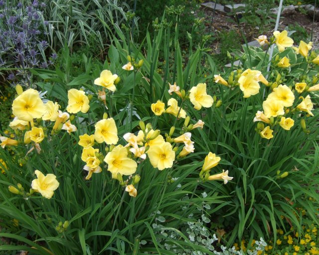 The early day lilies are suddenly blooming.