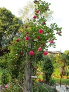 This rose appears to climb above its own support post.