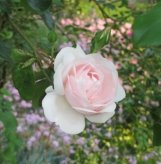 A portrait of a delicate New Dawn rose