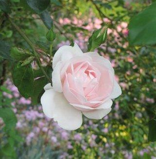 A portrait of a delicate New Dawn rose