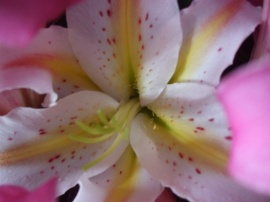 lily close-up