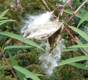 milkweed seeds closeup