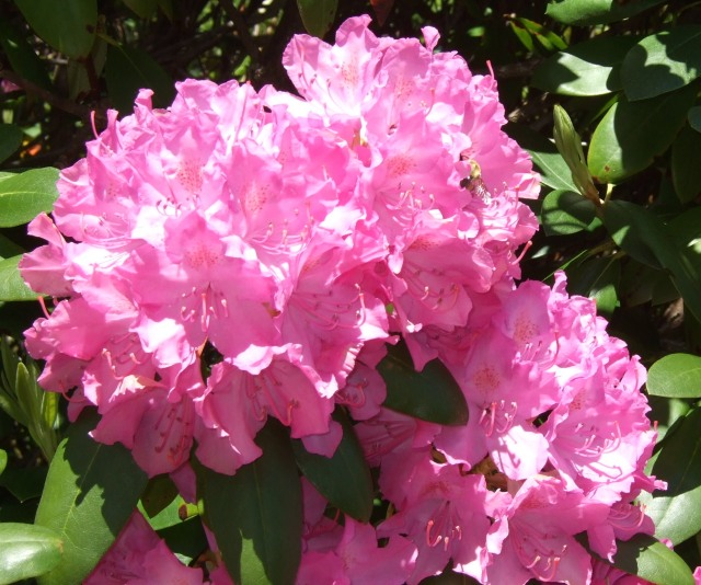 "Rhododendron ""English roseum"""