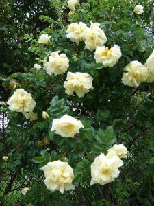 Roses (Agnes)