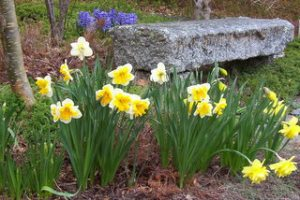 Cheerful bulbs are a welcome sight in Spring