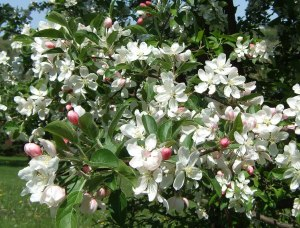 Apple blossoms are plentiful in Nova Scotia