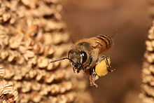 Honey bee carrying pollen. Photo by Muhammad Mahdi Karim; GNU Free Documentation License, version 1.2