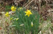 Daffodils April 25