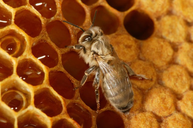 A worker bee checking the honey-filled cells.