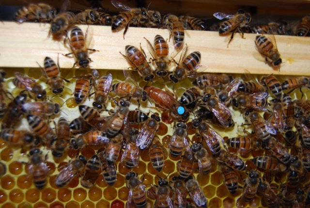 Worker bees surround a new queen to absorb the scent of her particular pheromone.