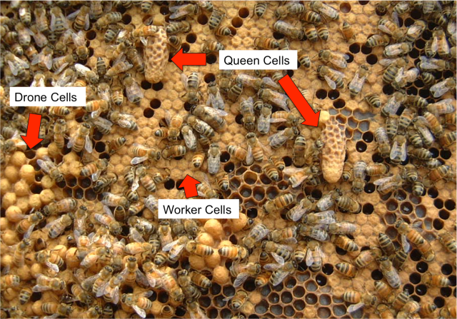 Honeybee brood cells