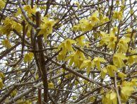 Forsythia close-up May 5