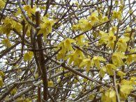 Forsythia close-up May 5