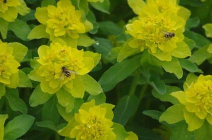 A pollinator on Euphorbia June 6th 2014 IMGP3761