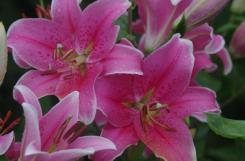 Nothing does pink like an Asiatic Lily.